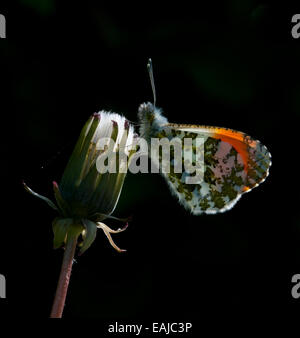 back lit male Orange Tip Butterfly resting - Stock Photo