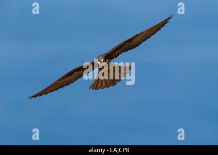 Eleonora's Falcon - Falco eleonorae - Stock Photo
