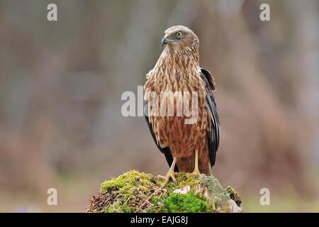 Western marsh harrier - Stock Photo