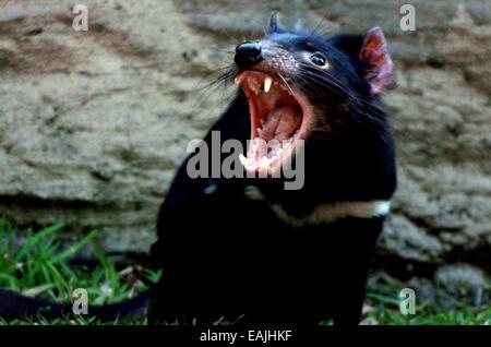Tasmanian Devil (Sarcophilus harrisii) snarling. - Stock Photo