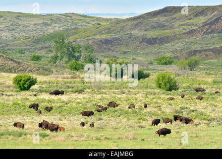 Bison herd on the Great Plains of Montana at American Prairie Reserve. South of Malta, Montana. - Stock Photo