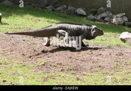 Caribbean Rhinoceros iguana (Cyclura cornuta) walking - Stock Photo