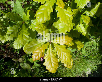 Fresh young oak leaves growing in a hedgerow in spring in Carmarthenshire, Wales UK    KATHY DEWITT - Stock Photo