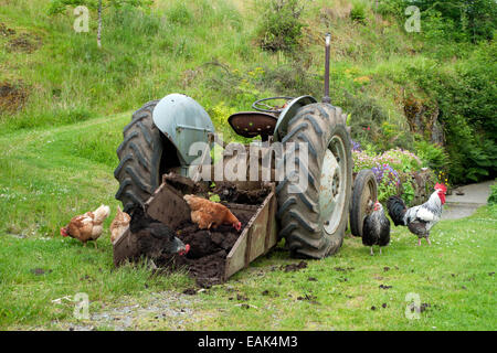 Free range chickens & rooster pecking at manure in bucket of a tractor on smallholding in Carmarthenshire Wales - Stock Photo