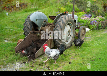 Free range chickens & cockerel pecking at manure in bucket of a tractor on smallholding in Carmarthenshire Wales - Stock Photo