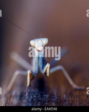 Praying Mantis (Mantis religiosa) insect Alghero Sardinia Italy - Stock Photo