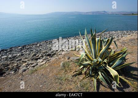 Cactus near the beach of Capernaum on the sea of Galilee - Stock Photo