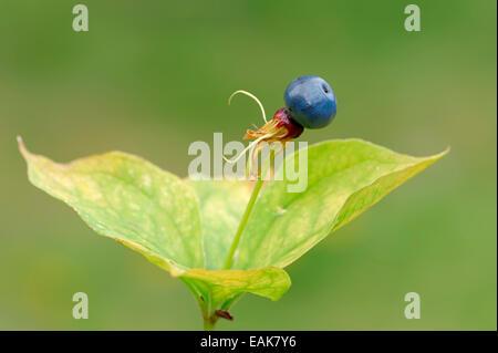 Herb Paris or True Lover's Knot (Paris quadrifolia), fruit, Bavaria, Germany - Stock Photo