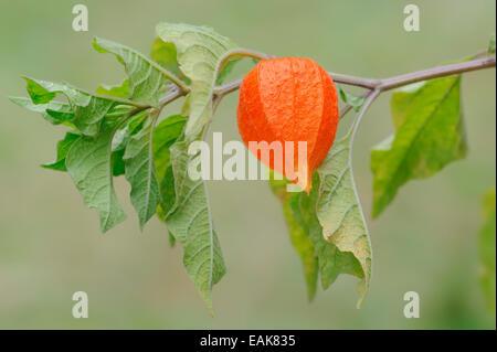 Bladder Cherry or Chinese Lantern (Physalis franchetii, Physalis alkekengi), fruit, North Rhine-Westphalia, Germany