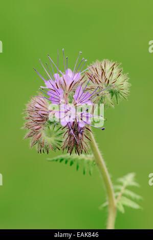 Lacy Phacelia (Phacelia tanacetifolia), flowers, North Rhine-Westphalia, Germany - Stock Photo
