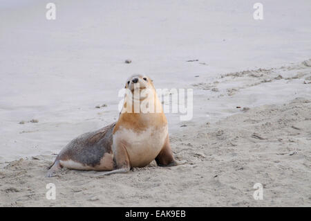 Australian Sea Lion (Neophoca cinerea), Seal Bay Conservation Park, Kangaroo Island, South Australia, Australia - Stock Photo