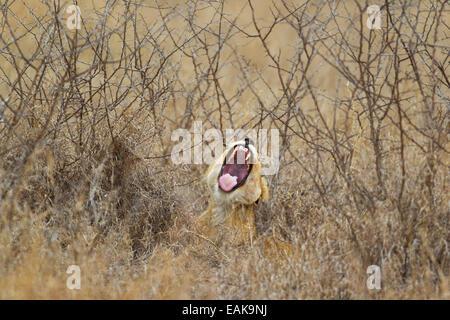 Lion (Panthera leo), lioness yawning, Kruger National Park, South Africa - Stock Photo
