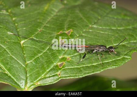 Gasteruptiid Wasp (Gasteruption jaculator), female, Baden-Württemberg, Germany - Stock Photo