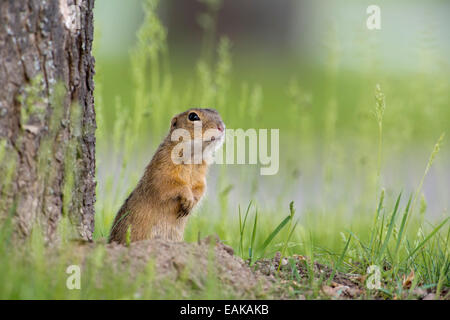 European Ground Squirrel (Spermophilus citellus) next to den, Burgenland, Austria