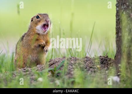 European Ground Squirrel (Spermophilus citellus) next to den, warning shout, calling, Burgenland, Austria