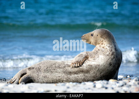 Grey Seal (Halichoerus grypus) on the beach, Heligoland, Schleswig-Holstein, Germany - Stock Photo