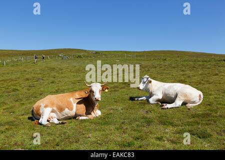 Cows on Almgrund, alpine pasture, Saualpe alp, Central Eastern Alps, Wolfsberg, Carinthia, Austria - Stock Photo
