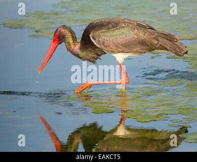 KRUGER NATIONAL PARK, SOUTH AFRICA - Black Stork. - Stock Photo