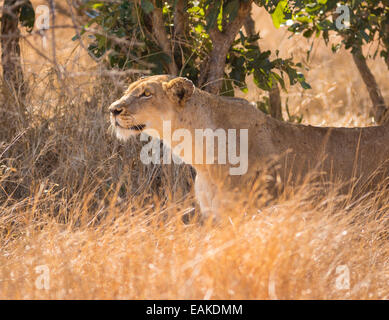 KRUGER NATIONAL PARK, SOUTH AFRICA - Lioness stalking prey in tall grass during hunt. - Stock Photo