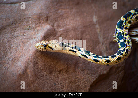 Great Basin Gopher Snake in Arches National Park near Moab, Utah. - Stock Photo
