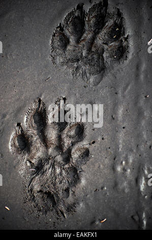 A grizzly bear paw print in the mud at Wrangell St. Elias National Park in Alaska. - Stock Photo