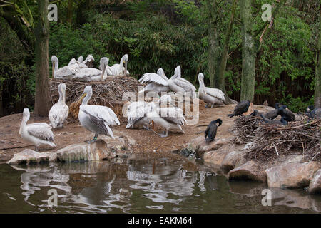 Dalmatian Pelicans (Pelecanus crispus) and their nests on pond island in the Rotterdam Zoo in Holland, Netherlands. - Stock Photo