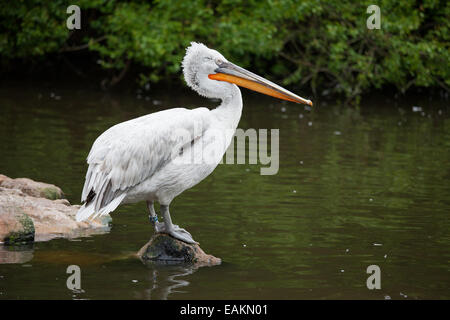Dalmatian Pelican (Pelecanus crispus) standing on a rock above the lake. Rotterdam Zoo, Holland, Netherlands. - Stock Photo
