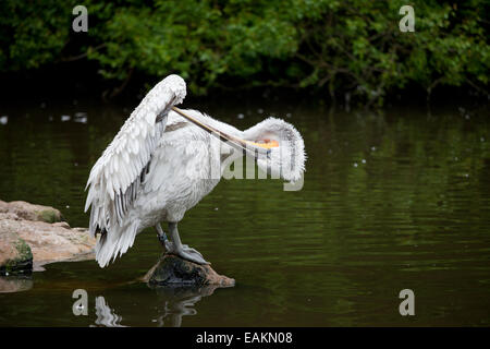 Dalmatian Pelican (Pelecanus crispus) standing on a rock at the lake, taking care of it's wing. Rotterdam Zoo in - Stock Photo