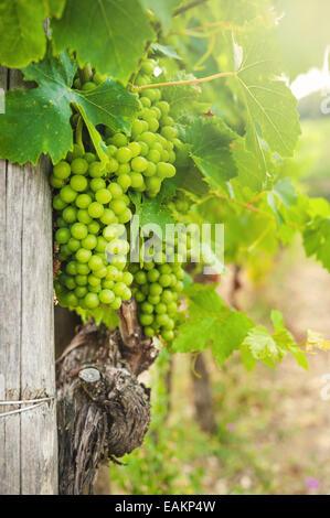 Beautiful vineyards in Chianti, Italy - Stock Photo