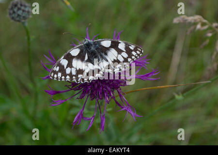 marbled white butterfly resting on a purple knapweed - Stock Photo