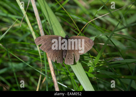 Brown Ringlet butterfly basking in the summer sunshine resting on a blade of grass - Stock Photo