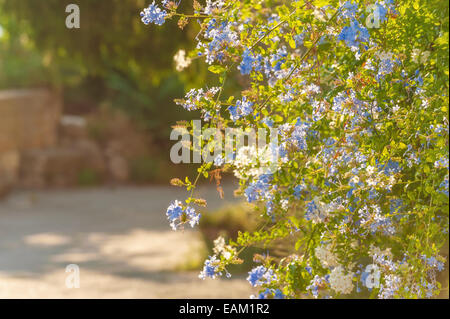 Blue flowers at the rural household in Tuscany in a beautiful sunny day - Stock Photo