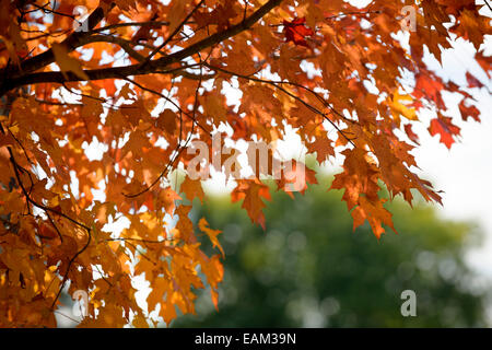 Fall foliage, leaves on tree branch changing color. - Stock Photo