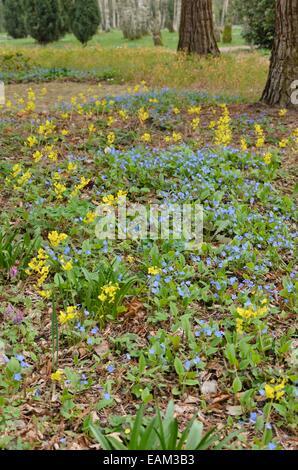 Blue-eyed Mary (Omphalodes verna) and barrenwort (Epimedium x perralchicum 'Frohnleiten') - Stock Photo