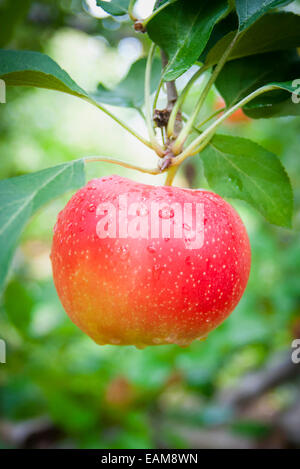 A Close Up of a Single Bright Red Apple on an Apple Tree - Stock Photo