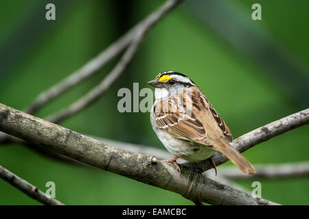 White-throated Sparrow white striped adult perched on tree branch - Stock Photo