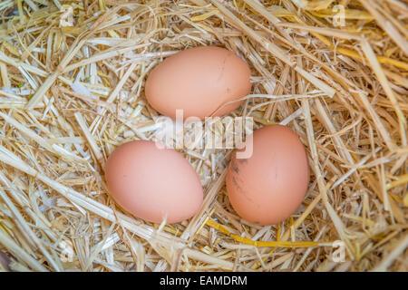 Freshly laid eggs in an egg box - Stock Photo