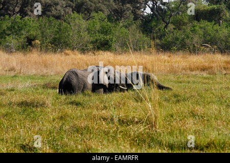 African elephants, the largest living land mammal two half submerged in marshland hidden by the reeds - Stock Photo