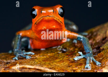Blue jeans strawberry dart frog / Oophaga pumilio - Stock Photo