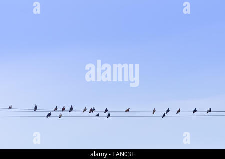 Flock of Pigeons sitting on Power wires. - Stock Photo