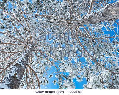 Two snow-covered pines - view from below - Stock Photo