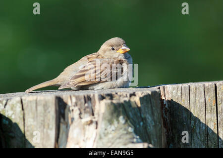 House Sparrow (Passer domesticus) is in the nature. Russia. - Stock Photo