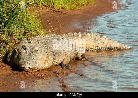 Estuarine Crocodile, Victoria River, Timber Creek, NT, Australia - Stock Photo