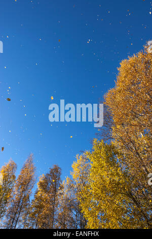Fall rainy of leaves from Silver birch, Finland national tree, forest - Stock Photo