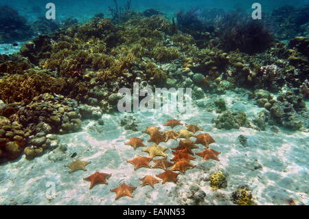 Many Cushion sea stars underwater on sandy seabed near a coral reef - Stock Photo