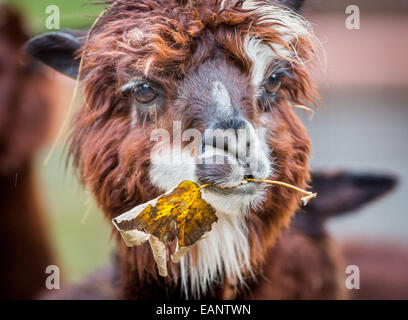 Frankfurt Main, Germany. 18th Nov, 2014. An alpaca munches on an autumn leaf in it's enclosure at the zoo in Frankfurt Main, Germany, 18 November 2014. Photo: FRANK RUMPENHORST/dpa/Alamy Live News Stock Photo