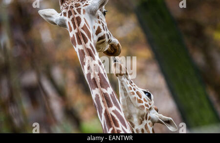 Frankfurt Main, Germany. 18th Nov, 2014. A young giraffe sticks out its tongue to an older giraffe at the zoo in Frankfurt Main, Germany, 18 November 2014. Photo: FRANK RUMPENHORST/dpa/Alamy Live News Stock Photo