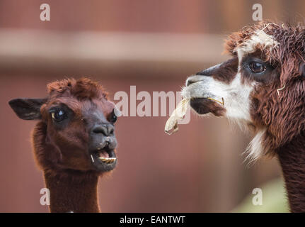 Frankfurt Main, Germany. 18th Nov, 2014. An alpaca (R) munches on an autumn leaf in it's enclosure at the zoo in Frankfurt Main, Germany, 18 November 2014. Photo: FRANK RUMPENHORST/dpa/Alamy Live News Stock Photo