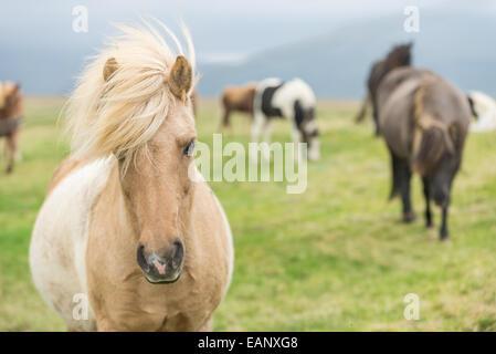 Wild Icelandic horse looking at camera. - Stock Photo