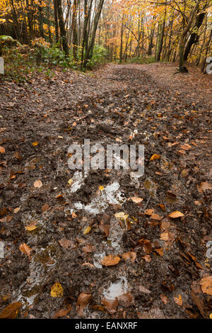 muddy squelchy sloppy trail created by ramblers through dense beech thicket footpath in mist and autumn colors - Stock Photo